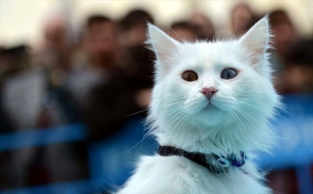 Van kedileri, güzellik yarışmasında boy gösterdi