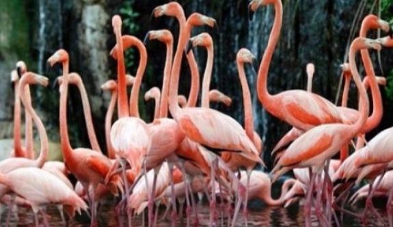 Venezuelalılar açlıktan flamingo yiyor!