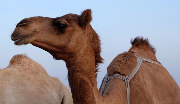 Katar'ın 15 bin devesi sınır dışı edildi