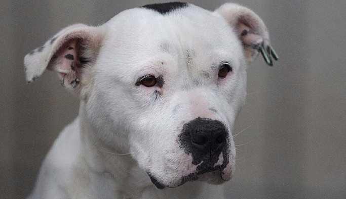 Mahkeme, pitbull cinsi köpeği 'silah' saydı