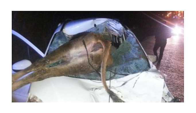 Otomobil ineğe çarptı: 2 yaralı