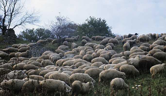 Bulgaristan'ın Türkiye sınırında 'koyun vebası' tespit edildi