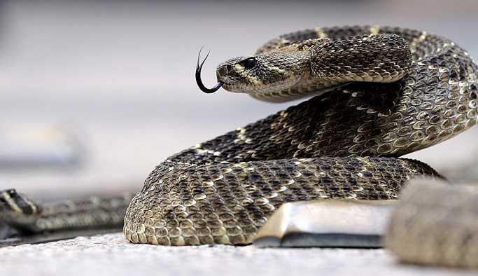 Papaz yılan tarafından ısırılmasına rağmen vaaz vermeye devam etti