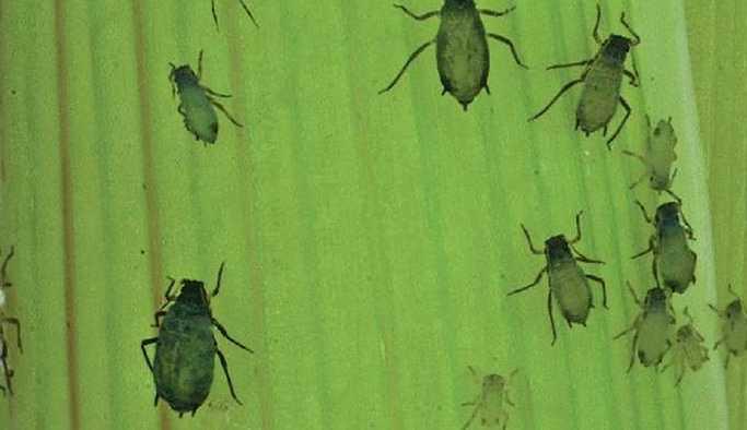 Bilim insanlarına göre, ABD'nin 'Böcek Müttefikler' programı Biyolojik Silahlar Sözleşmesi'ne aykırı olabilir