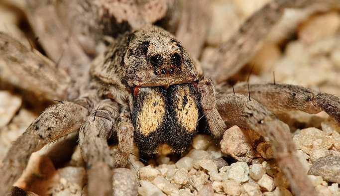 ABD'de binlerce örümcek otoyolu işgal etti