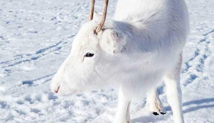 Norveç'te bir fotoğrafçı, nadir görülen beyaz Ren geyiklerini görüntüledi: Masal gibi bir andı