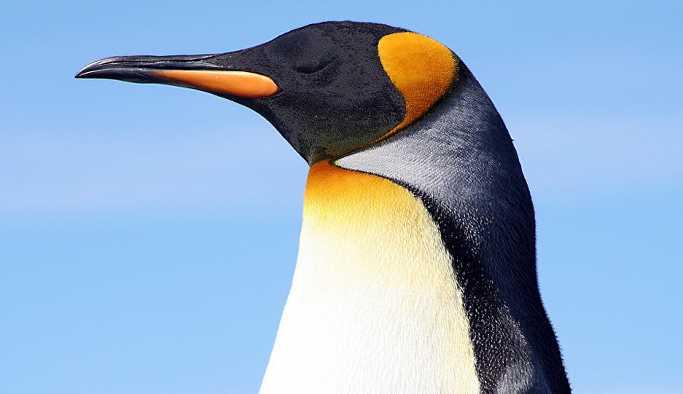 Binlerce penguen Güney Amerika'da mahsur kaldı