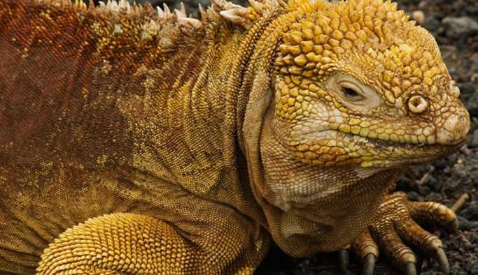 Galapagos'un Santiago Adası, Darwin'den beri ilk kez iguana gördü