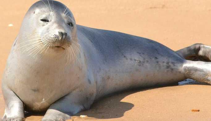 Gösteri merkezinden kaçan fok Çiko sahilde görüntülendi