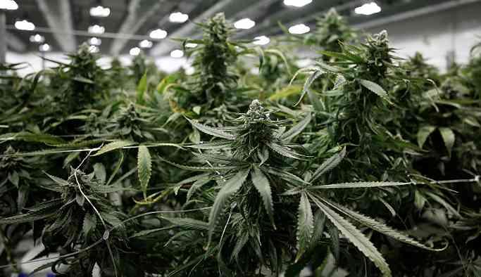 Günlük marihuana kullanımı mental psikoz riskini artırıyor