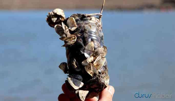 Van Gölü'nde 'zebra midye' tehlikesi