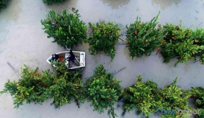 Adana'da göle dönen narenciye bahçelerinde kayıkla hasat