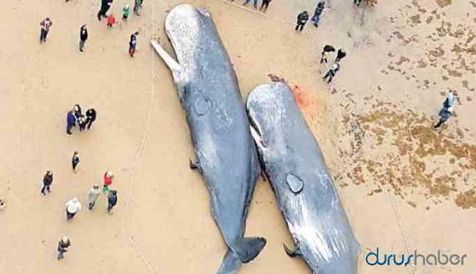 Sahile vuran balinanın midesinden 100 kilogram çöp çıktı