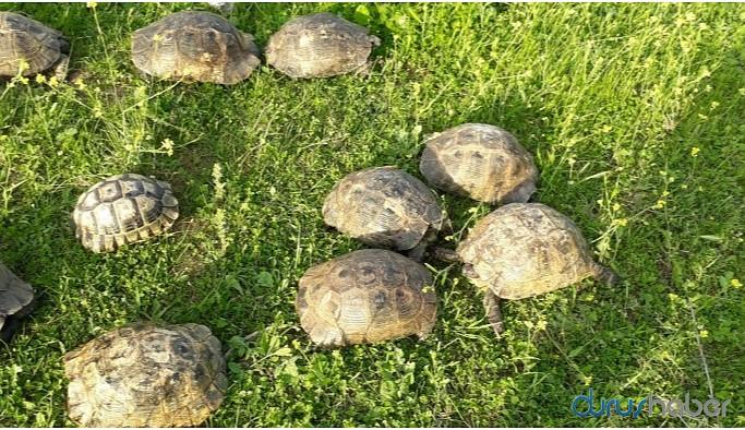 Hasankeyfliler 150 kaplumbağayı kurtardı