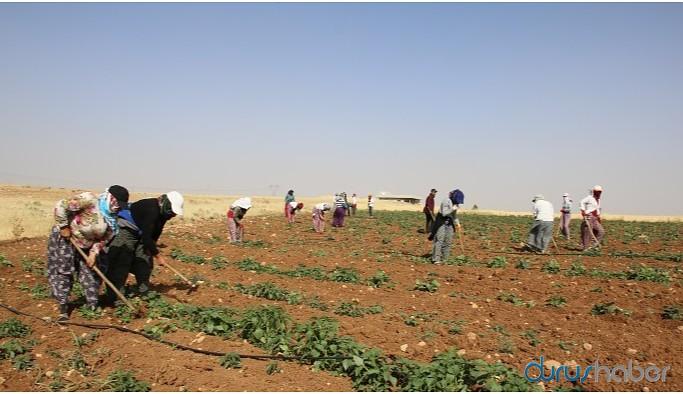 98 bin TL elektrik faturası gelen çiftçi: Hasadımız 60 bin TL ediyor