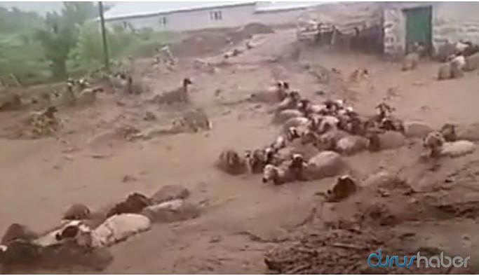 Sele kapılan koyunlar telef oldu