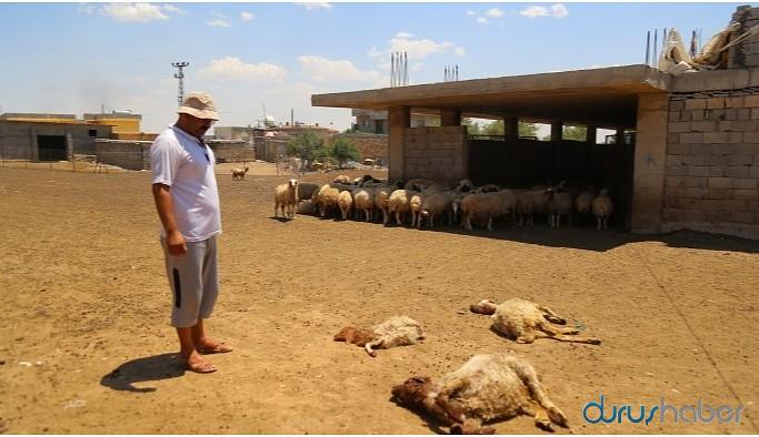 DEDAŞ'ın kesintileri nedeniyle susuz kalan hayvanlar öldü