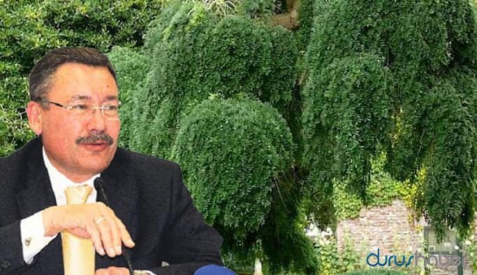 Gökçek, Ankara'ya 26 milyona Himalaya bitkisi almış