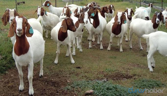 Kurban Bayramı dolandırıcılığı: Koyun görünümlü keçi
