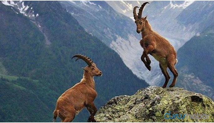 Yaban keçilerin öldürülmesi için avlanma izni