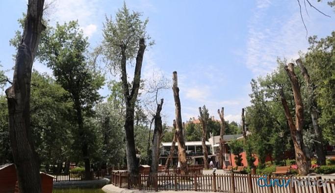 Kuğulu Park'ta budanan ağaçlar bir daha yeşermeyecek