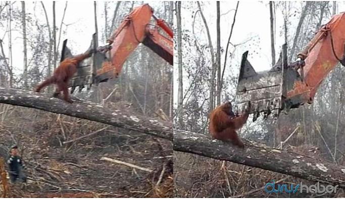 Palm yağının alternatifi, yağmur ormanlarını kurtarabilir