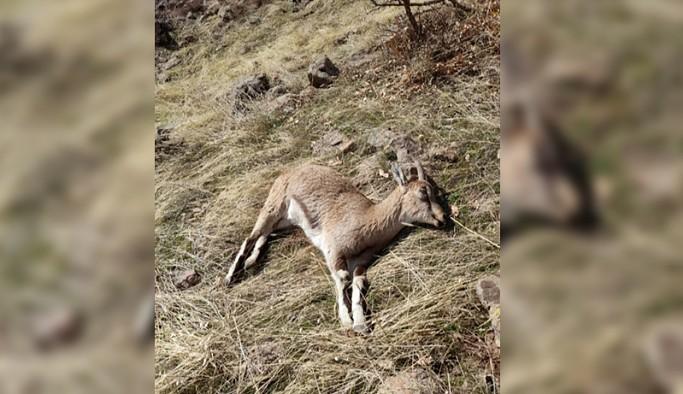 12 yaban keçisi ölü bulundu