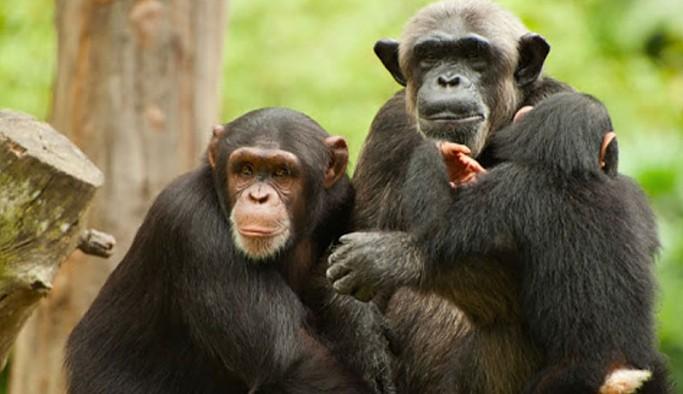 Elektrik kesintisi nedeniyle çok sayıda maymun ve şempanze öldü