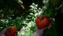 Rus tarım ajansı, Türk domates şirketlerine yönelik yasakları kaldırabilir