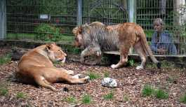 Hayvanat bahçesinden kaçan vahşi hayvanlar yakalandı