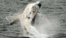 Rusya'da 'karnını kaşımak' için kıyıya yanaşan balina böyle görüntülendi