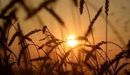 Buğdayda krize karşı önlem