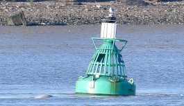 Thames Nehri'nde Beluga cinsi bir balina görüldü