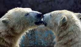 Çiftleşen kutup ayılarını korkutan adama hapis cezası