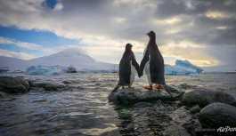 Eşcinsel penguenler yavru sahibi oldu: Dönüşümlü bakıyorlar