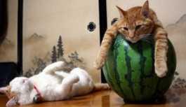 'Sadece Rusya'da olan bir meslek': Kasabanın 'kedi şefi' karınları doyuracak
