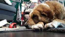 İtalya'da bir IKEA mağazası kış boyunca sokak hayvanları için barınak olacak