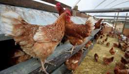 İskoçyalı uzmanlar kanser ilacı yumurtlayan tavuk yetiştirdi