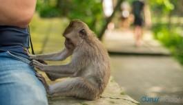 Maymunlar koronavirüs testi örneklerini...