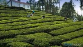 22 çay üreticisinin korona testi pozitif çıktı