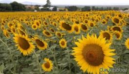 Tarımda ithalat devri sürüyor: Yem katkısı ayçiçek kabuğu Rusya'dan geldi