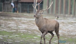 Bakanlık katliam ihalelerine devam ediyor: 18 geyik ihale ile vurulacak