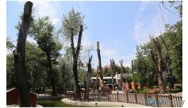 Çankaya Belediyesi'nden 'Kuğulu Park' savunması: O ağaçlar kurumak üzereydi
